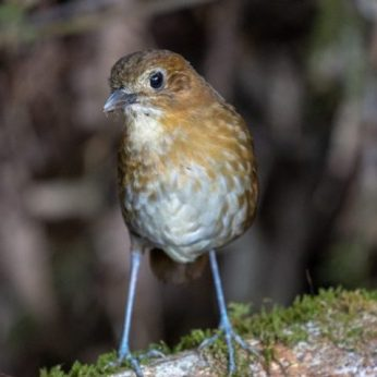The Central Andes Birding Trail of Colombia: Coffee and Birds!