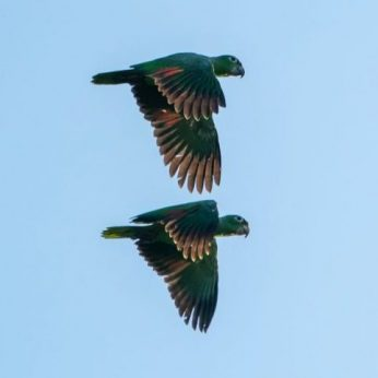 Vaupes, a Must to Visit Birding Destination in the Colombian Amazon