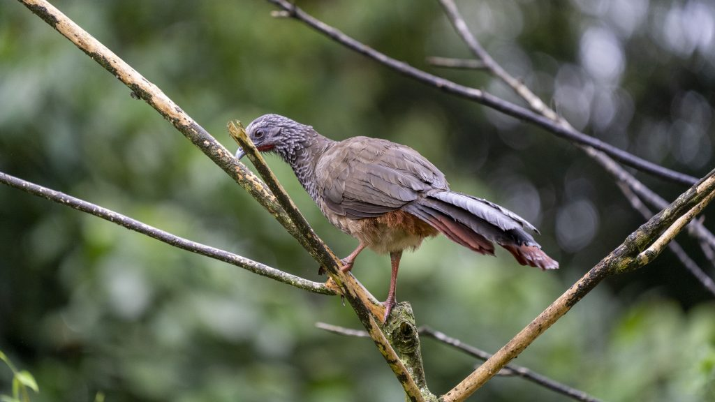 Colombian Chachalaca - Ortalis columbiana, Endemic, Pance, Valle del Cauca