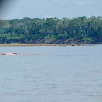 Best Amazon River Dolphin Spots in Colombia ( A.k.a. Pink River Dolphin)