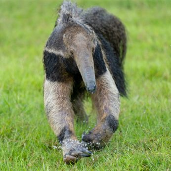 Best places to see Anteaters in Colombia